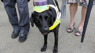 With her shoulders covered and a hat this lady (Zoey the guide dog) is staying within the rules of the strict dress code for Royal Ascot