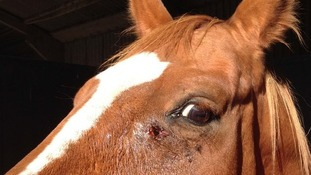 Horse's bullet wound