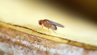 A fly's sense of smell could be used in new technology to detect drugs and bombs, according to research