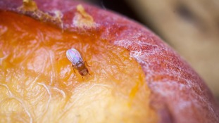 Fruit flies are attracted to rotting fruit, but scientists have discovered their 'nose' can also accurately detect explosives