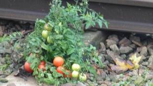 Tomatoes on the track in Essex