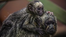Baby monkey hanging on to his mother