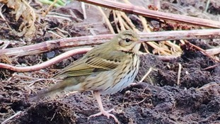 An Olive Backed Pipit