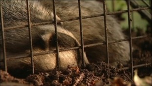 One alternative to culling is badger vaccination