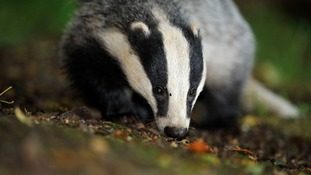 NFU pleased with badger cull