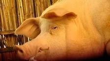Funtik the pig