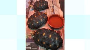 Rare tortoises