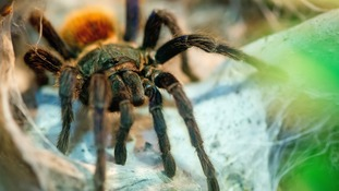 A species of Tarantula Chromatopelma cyaneopubescens.