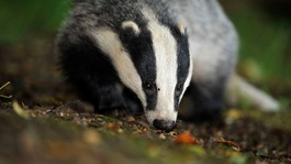 Anti-badger cull campaigners have lost their legal challenge