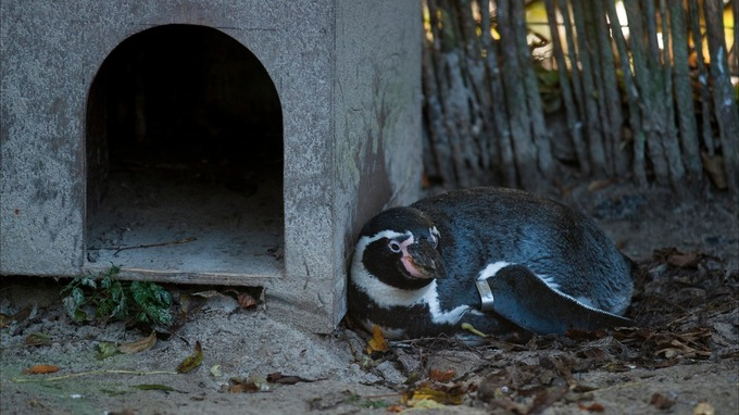 A pair of penguins are preparing for parenthood by sitting on an egg-shaped stone at Dudley Zoo.