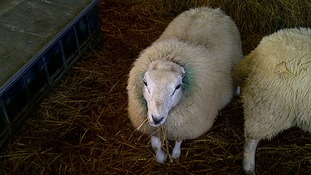 One of the sheep had its ears bitten off during the attack.