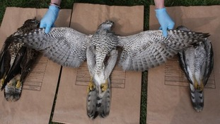 Poisoned goshawk