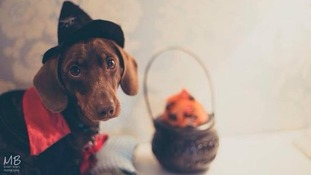 Sausage dog Gus getting in the Halloween spirit.
