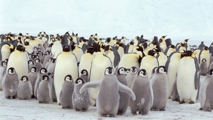 Normally the penguins back away when researchers approach them.