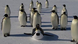 Tobogganing penguin cam.