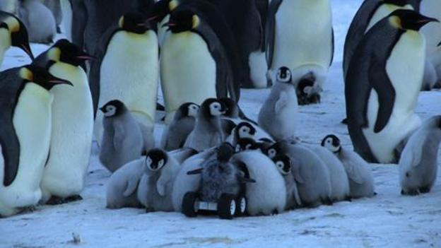 Robot baby chick spy-cam gives unprecedented access to shy Emperor Penguins