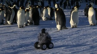 Robot spy-cam chick rover films Emperor Penguins.