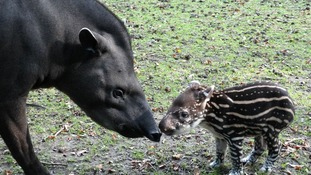 Lolita the baby Brazilian Tapir with her mother