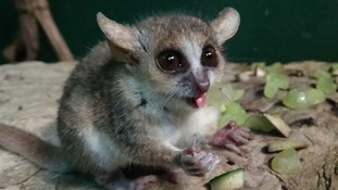 One of the 5 Grey Mouse Lemurs