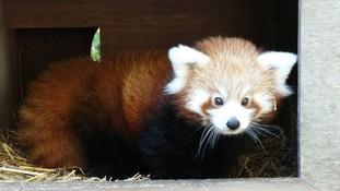 Newborn red panda cub