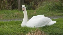 Swan on Somerset Levels