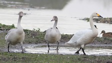 The first family of Bewick's swans at WWT Slimbridge Wetland Centre