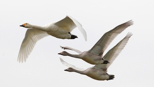 Bewick's swans in Slimbridge