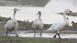 Swans fly in late to Slimbridge