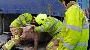A number of the pigs were transported to another vehicle.