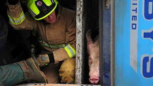 A number of the pigs were transported to another vehicle afterward.