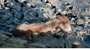 Mudlark the foal