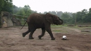 Nelly the psychic elephant predicts semi-final win for Germany
