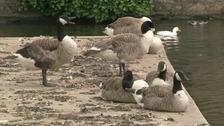 Ducks in Ely