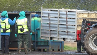 Ducks are loaded into a chamber to be gassed during a cull at a farm in Nafferton, East Yorkshire