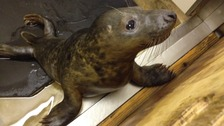 One of the many orphaned seal pups being cared for at West Hatch.