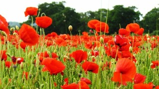 A field of poppies close to Fakenham, Norfolk.