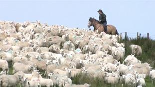 Shepherd rounding up sheep