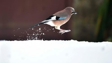 A Jay bounces through the snow in Kielder Forest, Northumberland.