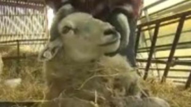 P-SHEEP_ATTACKS__LK