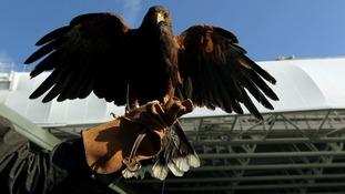 Wimbledon's resident Hawk.