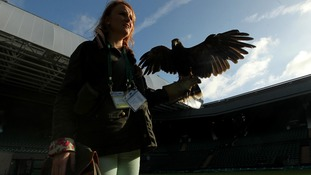 Rufus the Hawk on Centre Court with handler Imogen Davies as he patrols the grounds to scare away pigeons during the Championships.