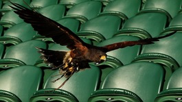 Rufus the Hawk, on Centre Court as he patrols the grounds to scare away pigeons during day three of Wimbledon 2012.