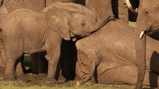 Roi the 10-month-old elephant stands over her dead mother, who was killed by ivory poachers