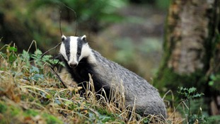 The NFU calls for a badger cull to be introduced to Devon & Cornwall