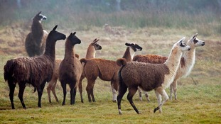 Could llamas help scientists beat the Aids virus?