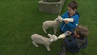 Wendy's sons George and Samuel with two of the lambs