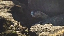 The seal pup stranded on rocks at Haldon Pier