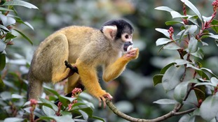 A Bolivian Black Capped Squirrel Monkey