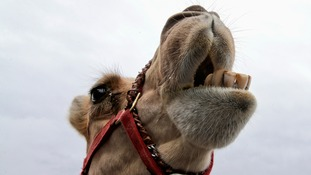 A file photo of a camel's head