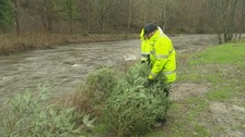 Old Christmas trees will act as a natural flood defence